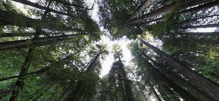 redwoods_Canopy_wide